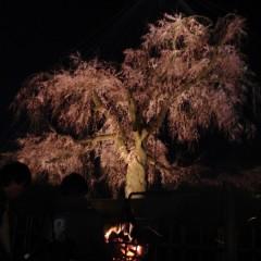 京都桜情報2 円山公園
