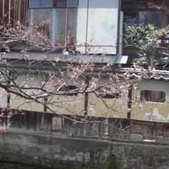 京都桜情報 1 祇園新橋 by ts