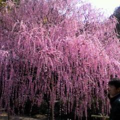 今月のお花のご紹介&淡路島のしだれ梅