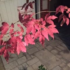 秋の実り。