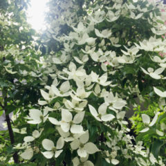 やまぼうしの花